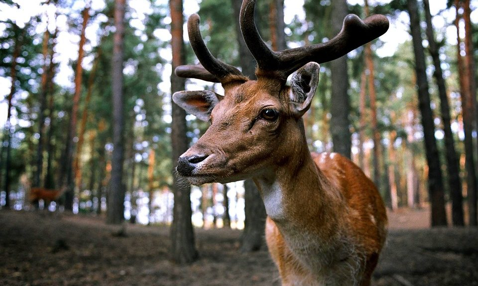Deer Antler Velvet for Athletes | Clearwater Nutrition Lab